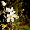 Blossom, Barnard Castle
