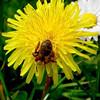A bee enjoying the pollen in a dandelion