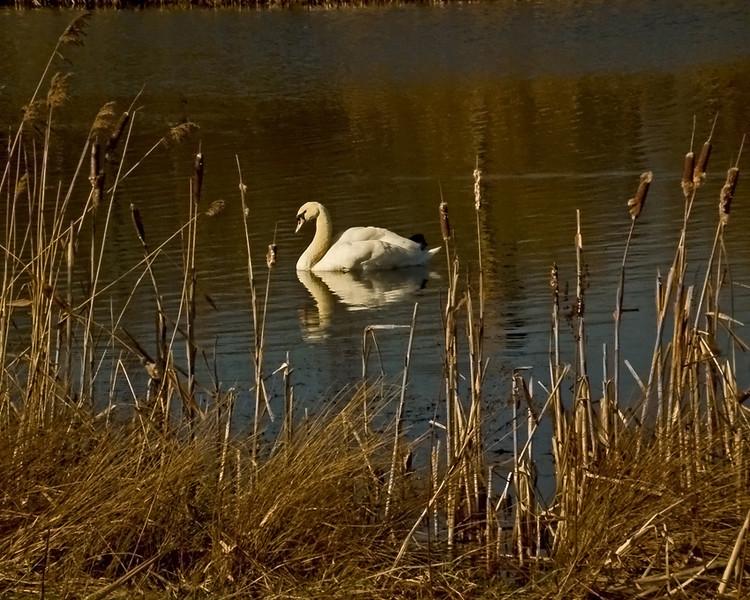 A Swan at Rainton Meadow