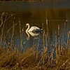 A Swan at Rainton Meadow