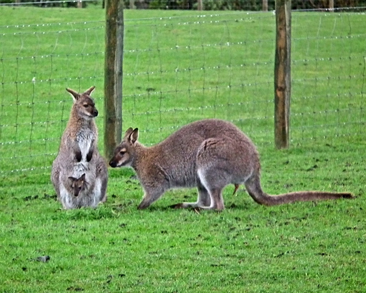 Wallaby family at Hall Hill Farm, Lanchester, Co. Durham