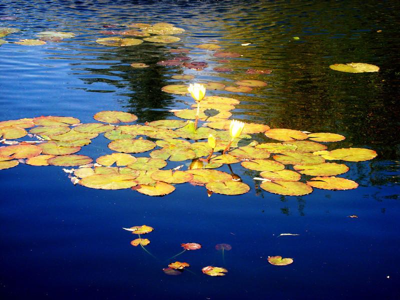 Lilly Pond at Denver Botanical Gardens in Colorado