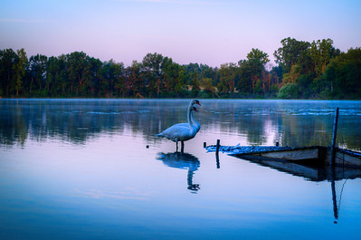 6AM Swans on Triangle Lake