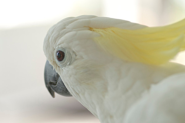Our roughly 39-year-old cockatoo, Rita, featuring her left eyeball.