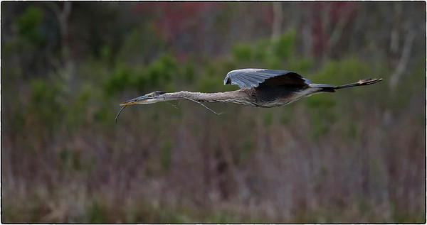 Great blue heron returning to nest. Sweetwater Wetlands Park, Gainesville, Florida.