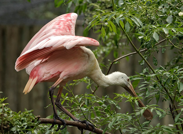 Roseate Spoonbill, resident of Homosassa Springs Wildlife Park, Florida.