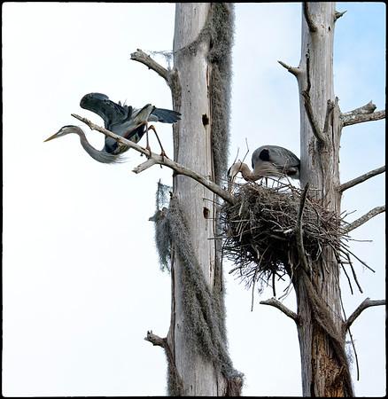 Off for more nest material. Circle B Bar Reserve, Lakeland, Florida.