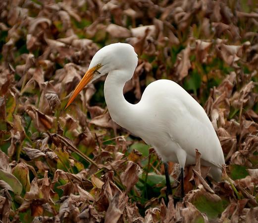 White Egret snacking at Paynes Prairie State Park near Gainesville, FL.