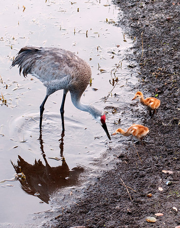 The female Florida sand hill crane with colts (what baby sand hill cranes are called)--2011.