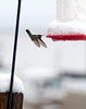 Humming bird at feeder after a wet, overnight snow. From the back of our motel room near Great Sand Dunes National Park.