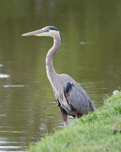 Great Blue Heron on a golf course in Bella Vista, Arkansas.