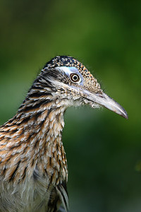 Greater Roadrunner, geococcyx californianus, standing under a tree in Eureka Springs.