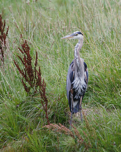 Another Great Blue Heron on a golf course in Bella Vista, Arkansas.