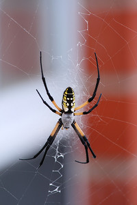 This  Yellow Garden Spider or argiope aurantia spun a web outside the window of my front room. I don't recall ever seeing a spider like this.