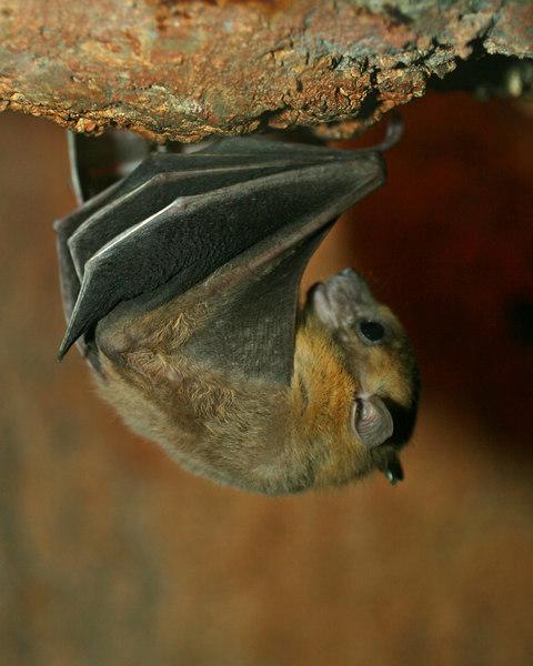 Old soul bat.