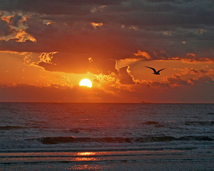 Laughing gull at sunrise, Pt Aransas, Tx.