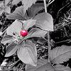 Another from the Mt St Helen's hike, this red berry stood out so clearly from it's background I thought I'd try the focal BW..against the green it is very striking as well.