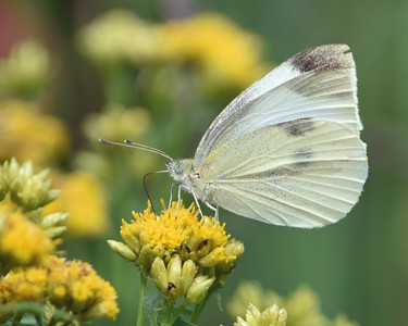 Cabbage White, Ferdinand, Vt