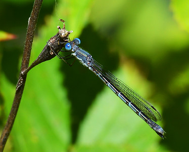 Sweetflag Spreadwing Damselfly, Conte NWR, VT