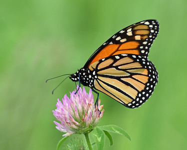 Monarch On Clover, Holland, Vt
