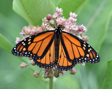 Monarch On Milkweed, Holland, Vt