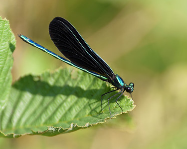 Ebony Jewelwing 1, Avery Gore, Vt