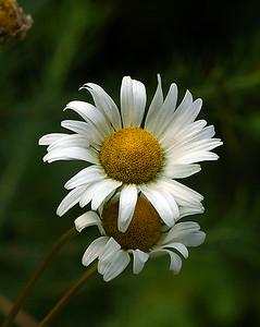 Oxeye Daisy, Conte NWR, VT