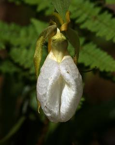 White Lady Slipper, Morgan, VT