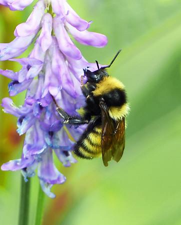 Northern Amber Bumble Bee, Wenlock WMA, Ferdinand, Vt.