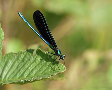 Ebony Jewelwing 2, Avery Gore, Vt