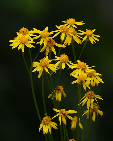 Yellow Aster, Conte NWR, VT