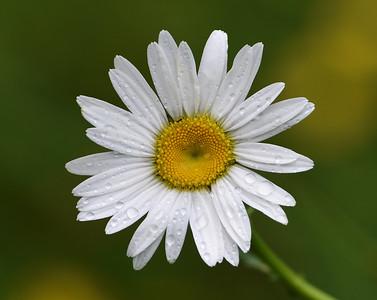 Oxeye Daisy, Ferdinand, Vt