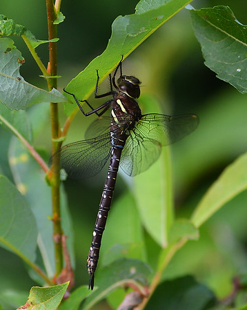 Shadow Darner 2, Female, Wenlock WMA, VT