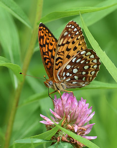 Great Spangled Fritillary, Wenlock WMA, Vt
