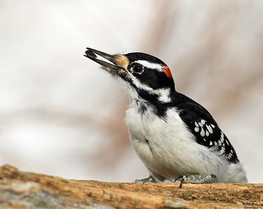 Hairy Woodpecker 2, Victory, Vt
