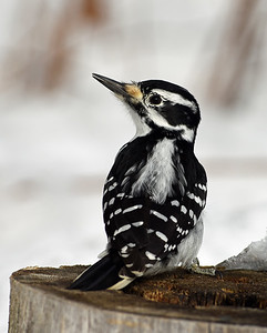Hairy Woodpecker 3, Victory, Vt