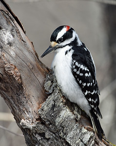 Hairy Woodpecker, Victory, Vt