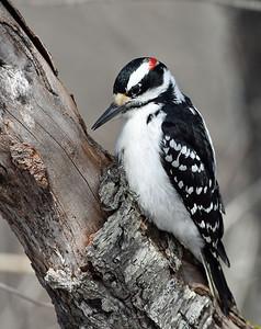 Hairy Woodpecker, Victory, Vt