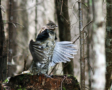 Drumming Ruffed Grouse, Morgan, Vt