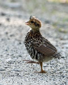 Ruffed Grouse Chick, Ferdinand, Vt