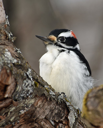 Hairy Woodpecker 5, Victory, Vt