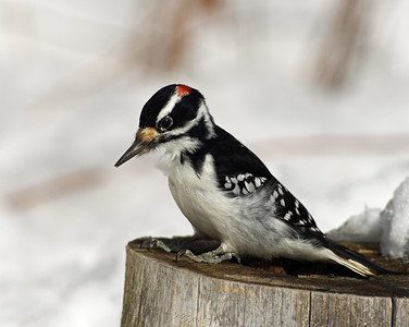 Hairy Woodpecker 1, Victory, Vt