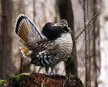 Ruffed Grouse On Drumming Stump 2, Morgan, Vt