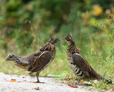 Ruffed Grouse, Avery Gore, Vt