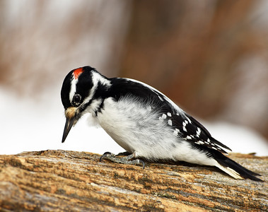 Hairy Woodpecker 4, Victory, Vt