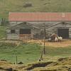 Barn and sheep