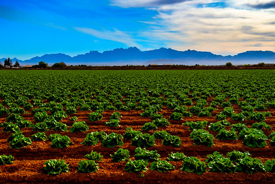 LETTUCE FIELDS and the ORGAN MOUNTAINS
