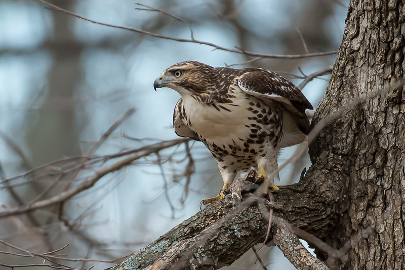 RED TAIL HAWK watching over my backyard