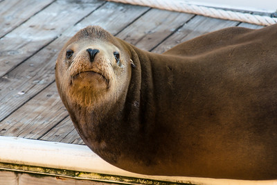 San Francisco HARBOR SEAL