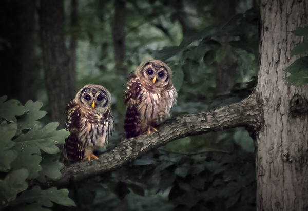TWO OWLS OUT OF THE WINDOW